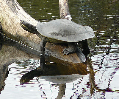 Tortoise at Woorabinda